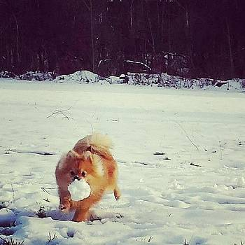 Too Cute For Words! #snowballretriever by Nicole Beck