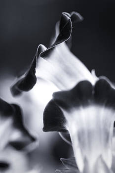 Torenia in BW by Maria Robinson