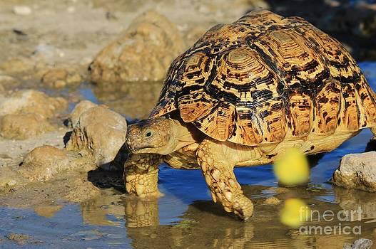 Hermanus A Alberts - Tortoise Blues