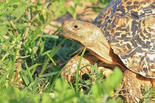 Hermanus A Alberts - Tortoise Greens