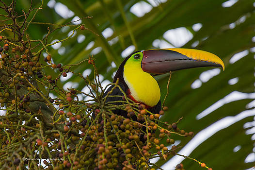 Toucan Man by Sheen Watkins