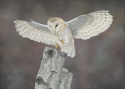 Touchdown-barn owl by Clive Meredith