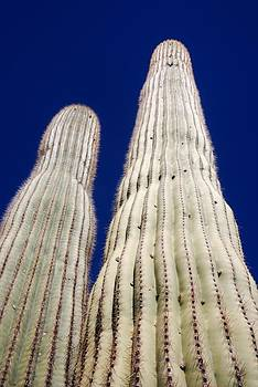 Towering Saguaros by T C Brown