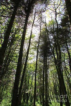 Towering Trees by Jenny A Jones