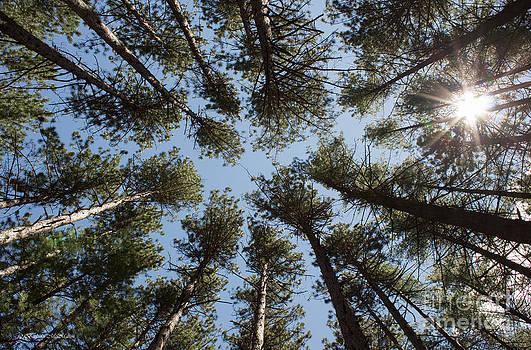 Barbara McMahon - Towering White Pines