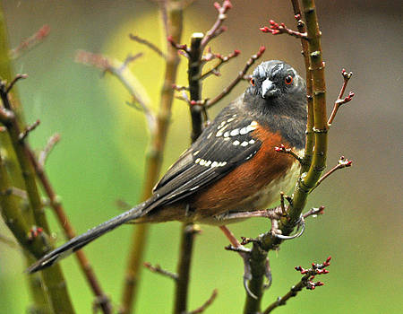 Kenneth Haley - Towhee on the Sapling