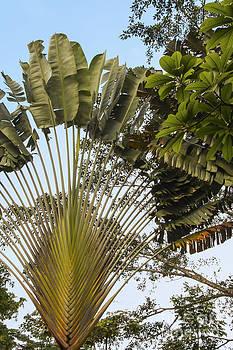 Bob Phillips - Travelers Fan Palm