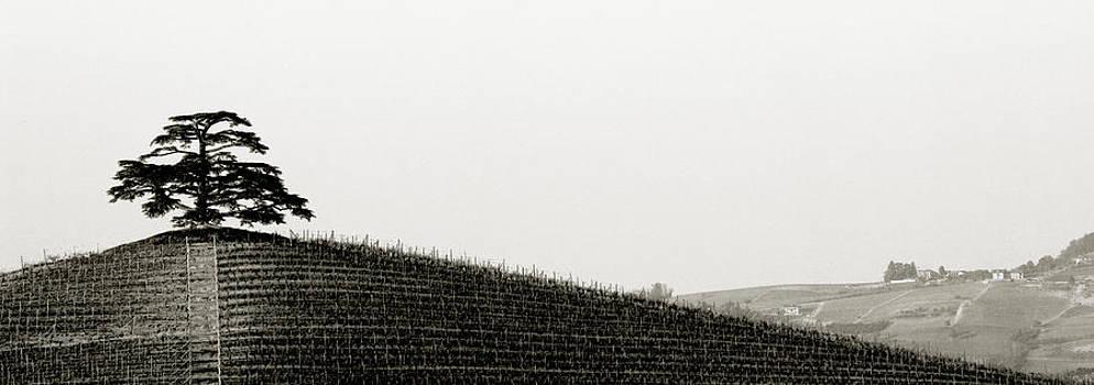 Tree atop vineyard. Barolo Italy by Damian Hevia