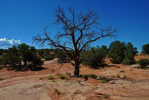 Tree in Canyon de Chelly by Dany Lison