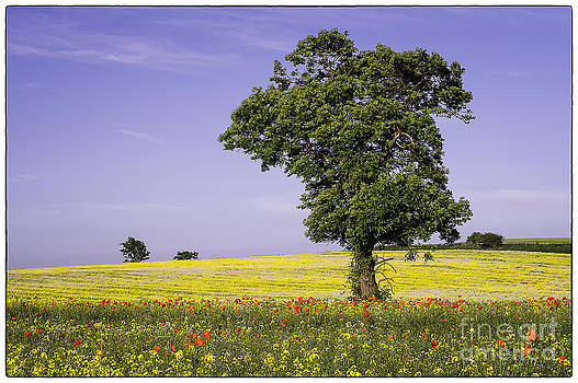 Tree in Rape Field No1 by George Hodlin