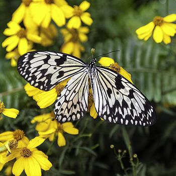 Lynn Palmer - Tree Nymph Butterfly