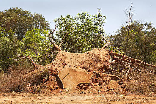 Kantilal Patel - Tree stump the Bulls Head