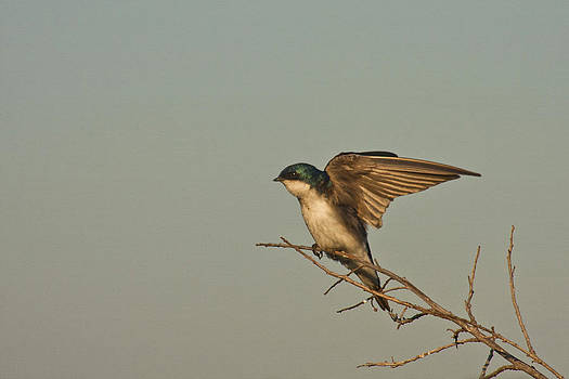 Tree Swallow by Bob and Jan Shriner