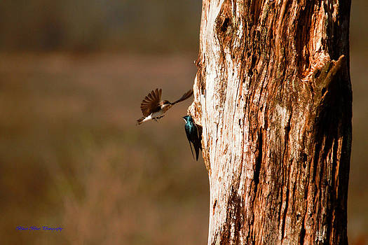 Tree Swallows 5 by Ed Nicholles