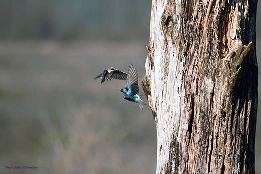 Tree Swallows by Ed Nicholles