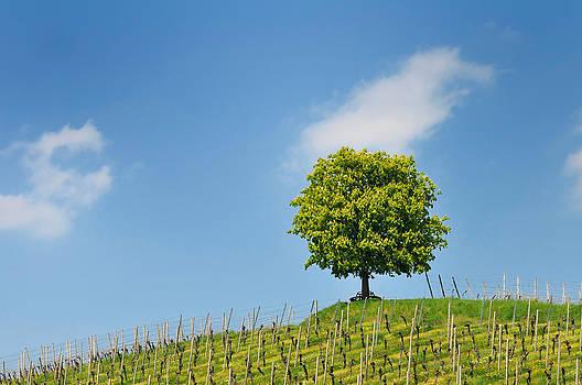 Tree vineyard and blue sky by Matthias Hauser