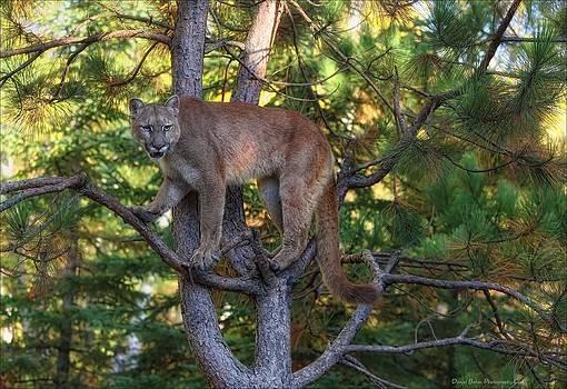 Treed Mountain Lion by Daniel Behm