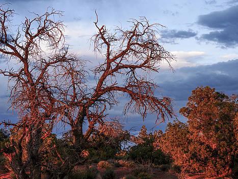 Desert Trees in Sunset by Susan Hamilton