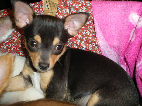 Tri color Chihuahua by Lois D  Psutka