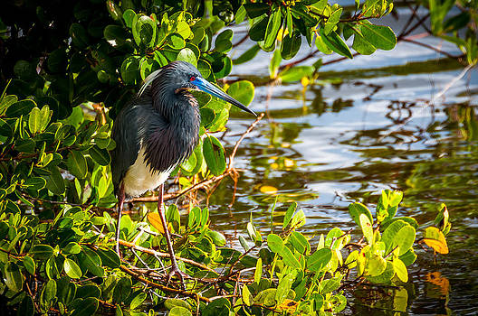 Tri-Colored Heron - Ding Darling by Dustin Ahrens