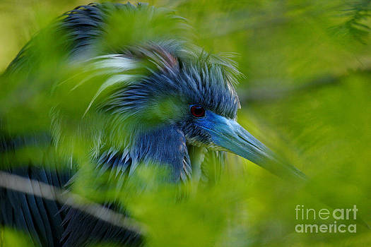 Tri-Colored Heron Concealed    by John F Tsumas
