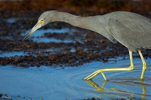 Patricia Twardzik - Little Blue Heron Fishing in the Shallows