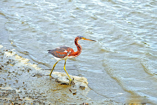 Tri-Colored Heron by Marilyn Holkham