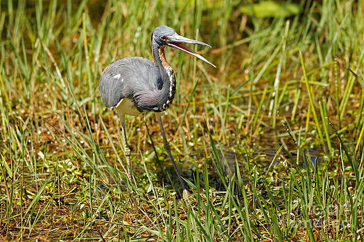 Tri-Colored Heron by Natural Focal Point Photography