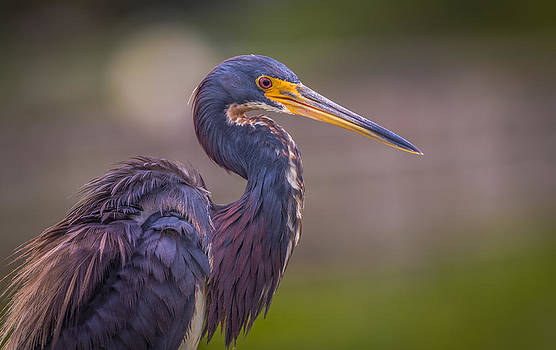 Tri Colored Heron Portrait by Andrea  OConnell