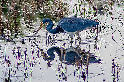 Charles Moore - Tricolor Heron ReflectIon