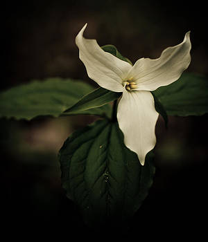 Trillium Delight by Eye Delight