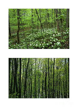 Kathi Shotwell - Trillium Heaven and Spring Forest