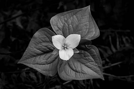 Trillium in Black and White by Craig Pifer