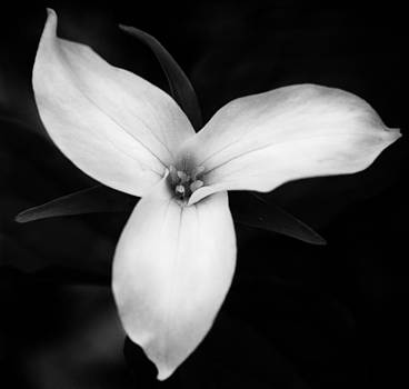 Trillium Peace by Eye Delight