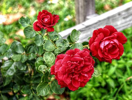 Howard Markel - Trio of Roses