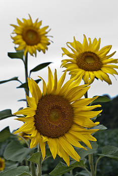 Trio of Sunflowers by Donna Harding