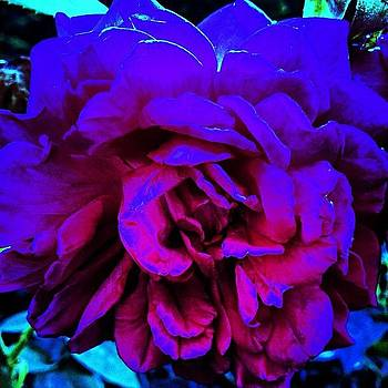Tripping Roses by J Amadei