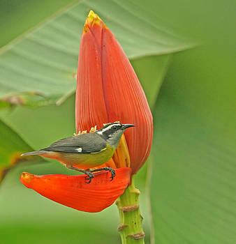 Peggy Collins - Tropical Birds - Bananaquit