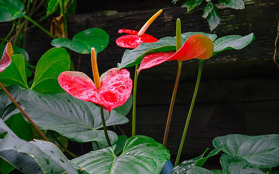 Tropical Flowers by Anthony Sell
