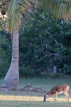 Tropical Key Deer by Natural Focal Point Photography