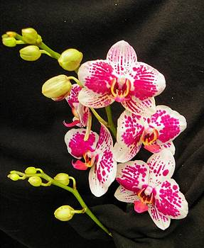 Tropical Orchids by Carolyn Bistline
