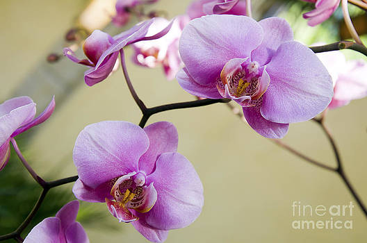 Andee Design - Tropical Radiant Orchid Flowers