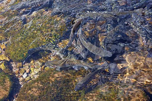 Baslee Troutman - Trout Art Prints Creek Lake Trout Photography