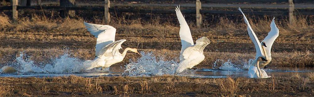 Dee Carpenter - Trumpeter Swans