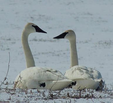kevin radley artwork for clinton il united states trumpeter swans by kevin radley