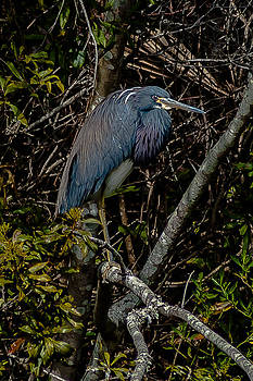 Charles Moore - TTricolor Heron in the bush