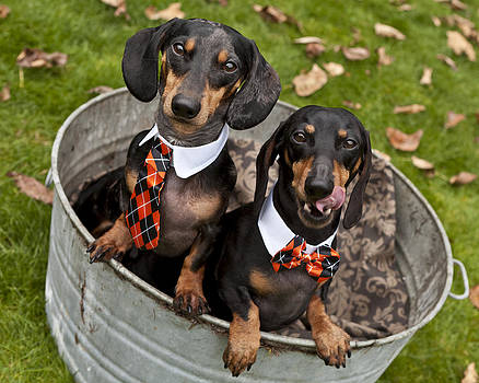 Tub Of Doxies by Summer Kozisek