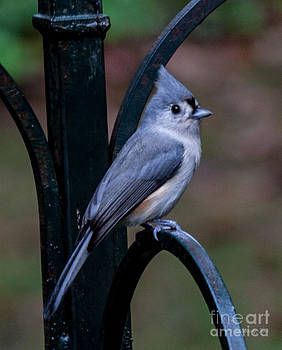 Tuffted Titmouse by Jinx Farmer