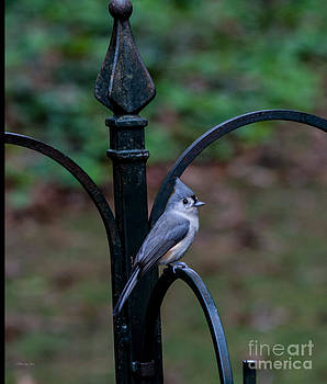 Tufted Titmouse  by Jinx Farmer
