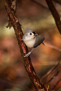 Tufted Titmouse Winter 2012 by Nathaniel Kidd